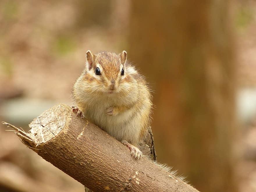 veveriță pierdere în greutate)