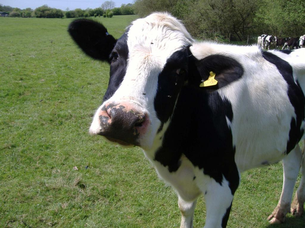 vaca pierde în greutate)