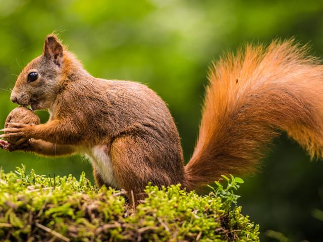 Surprinzatoare Fapte Virginia de Nord care zboară veveriță