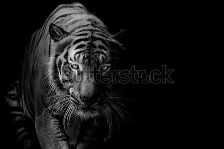 arzător de grăsime tigru negru