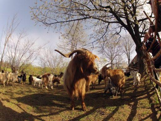scăderea în greutate a caprelor pigme