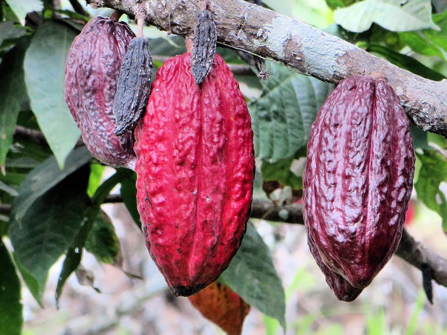 """Boabele de cacao – un """"dulce"""" cu adevarat sanatos"""