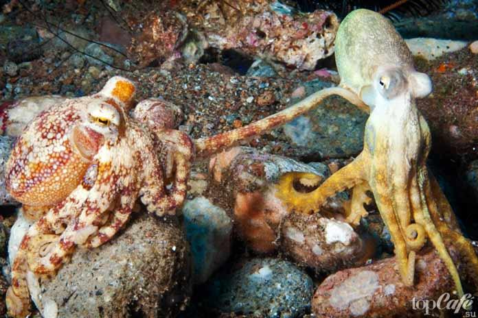 Cea mai mare caracatiță din lume. Octopus. Ce știm despre caracatițe