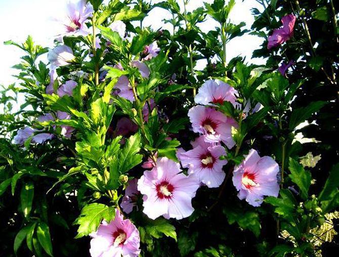 Ceai din hibiscus pentru pierderea în greutate