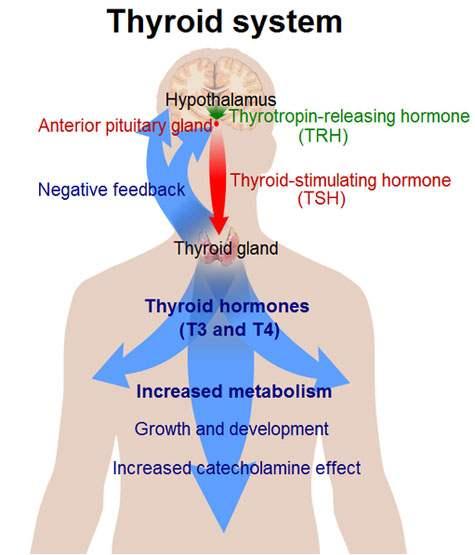 t3 t4 pentru pierderea în greutate