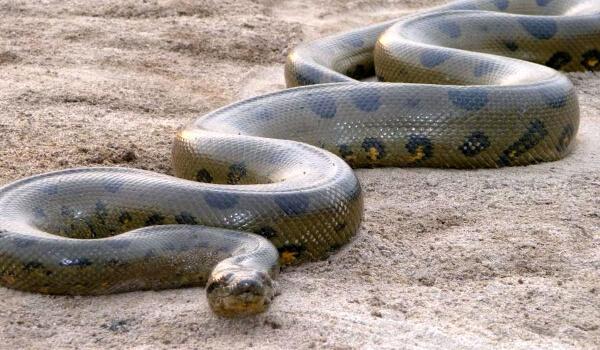 șarpele pierde în greutate)