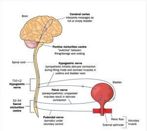 Cauzele și simptomele durerii vezicii urinare la bărbați și femei - Hidronefroză