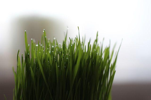 Pierdere în greutate cu iarbă de orz)