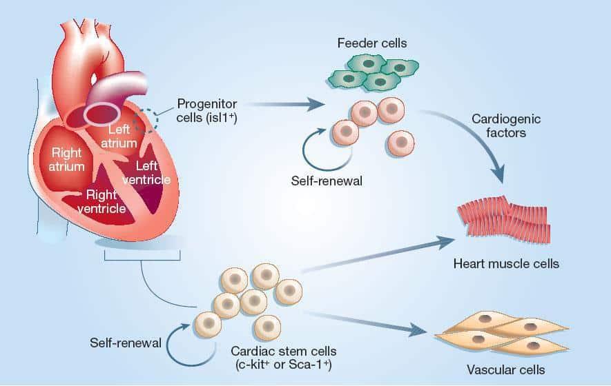 Pierderea greutății celulelor stem)