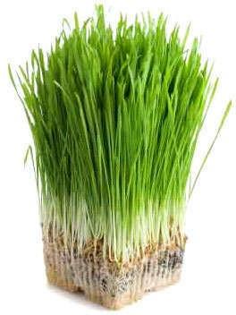 Pierdere în greutate cu iarbă de orz