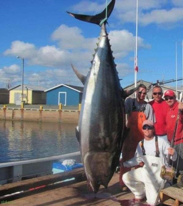 Proprietăți utile ale tonului pentru oameni. Ton. Tipuri de ton. Foto și video Paraziți de ton