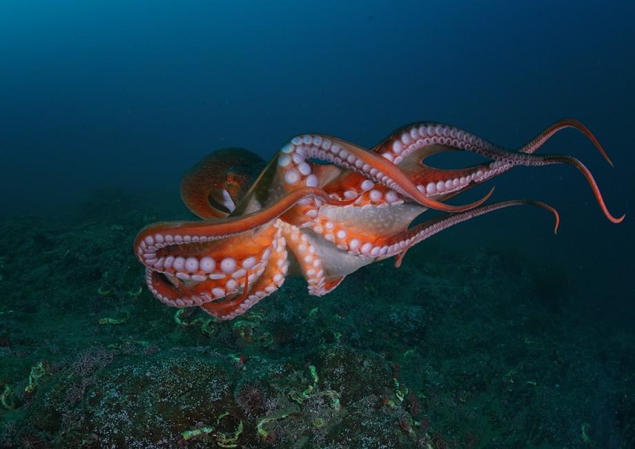 Carne de caracatiță și beneficiile sale