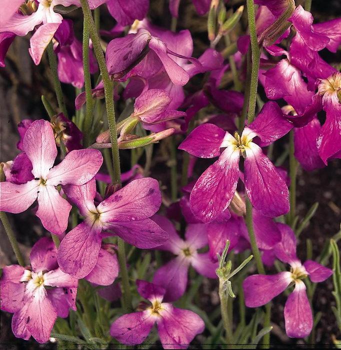 Mattiola - crește din semințe atunci când este plantată. Mattiola - plantare și îngrijire