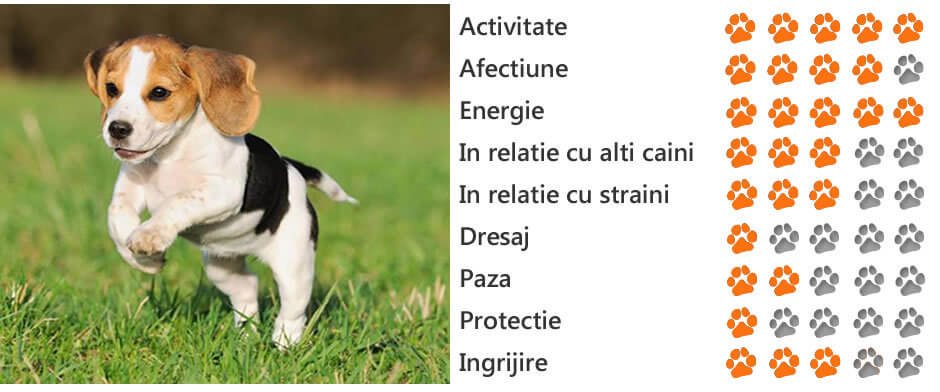 beagle pierde în greutate