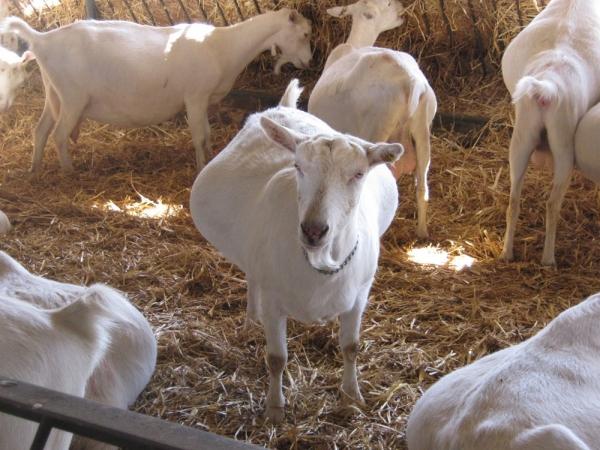 Monta sezonală la capre
