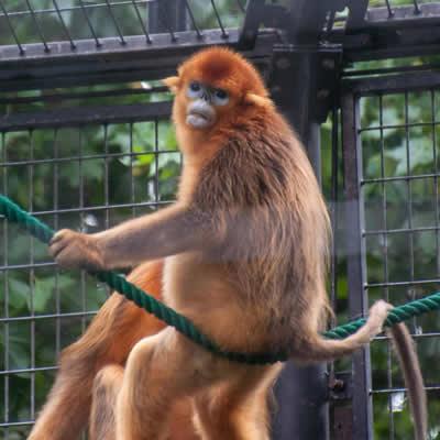 scumpa grasa maimuta slabire