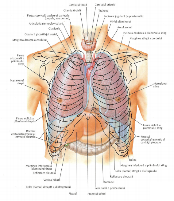 procesul xifoid și pierderea în greutate poem de slăbire