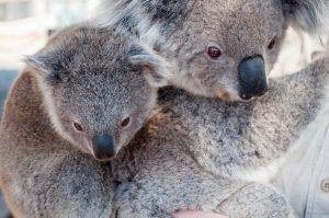 arzător de grăsimi koala)