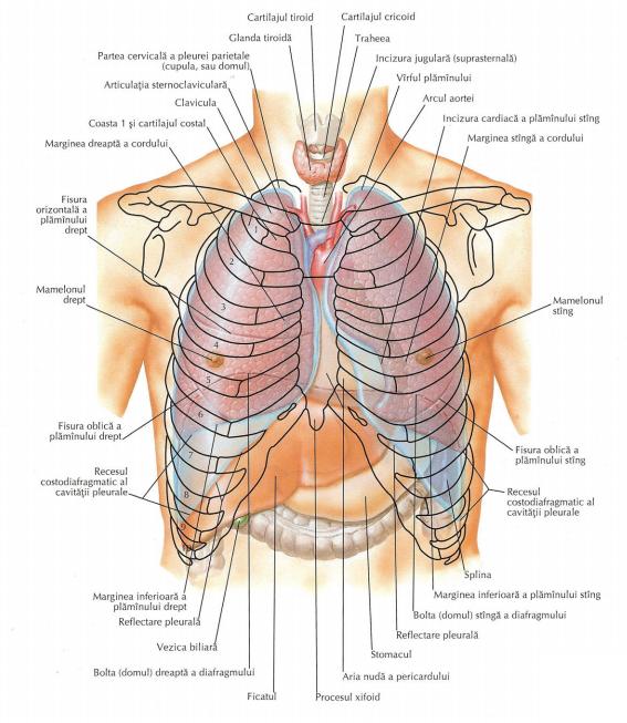 procesul xifoid și pierderea în greutate