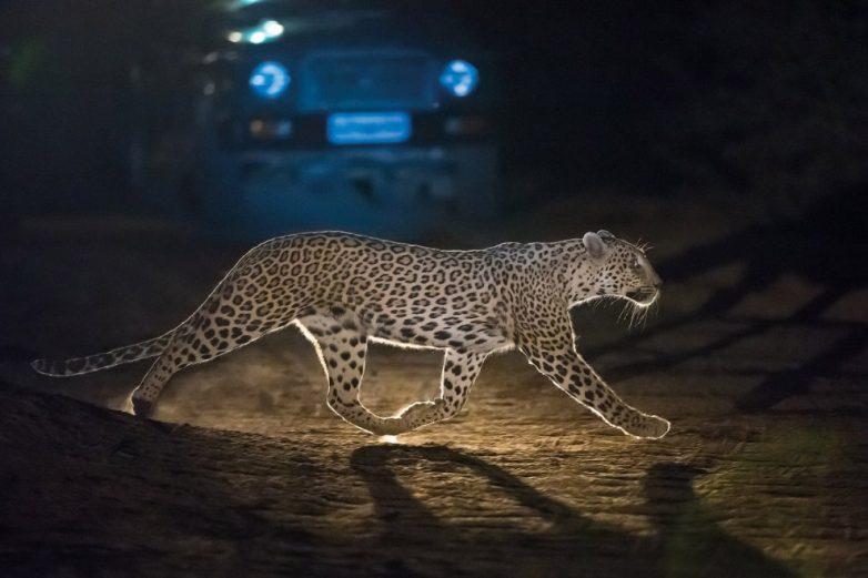 arzător de grăsime leopard negru)