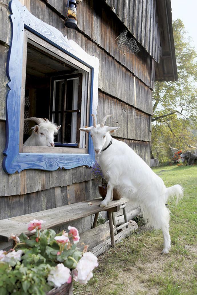 Rețeta longevității – laptele de capră