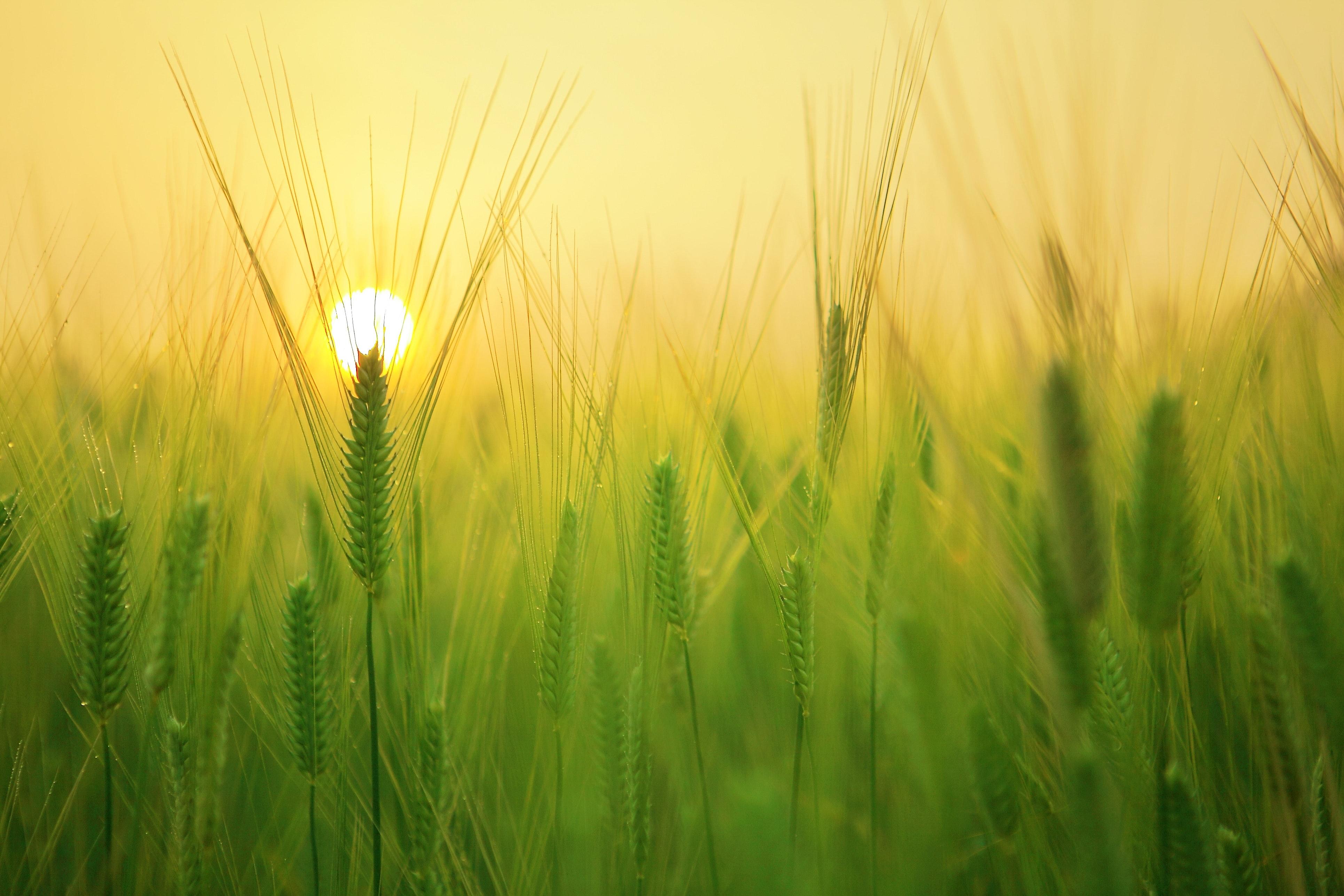 iarba de orz pierde în greutate)