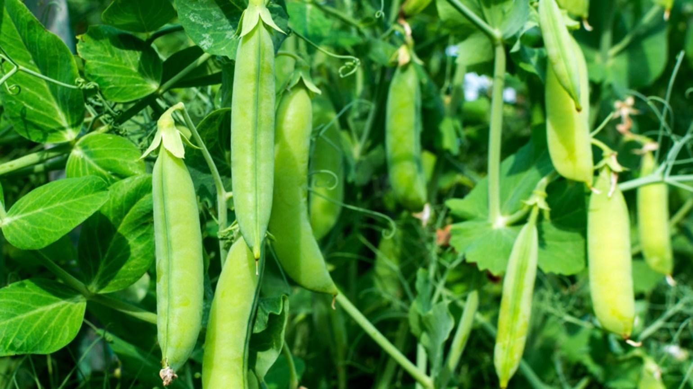 mazărea de grădină este bună pentru pierderea în greutate)