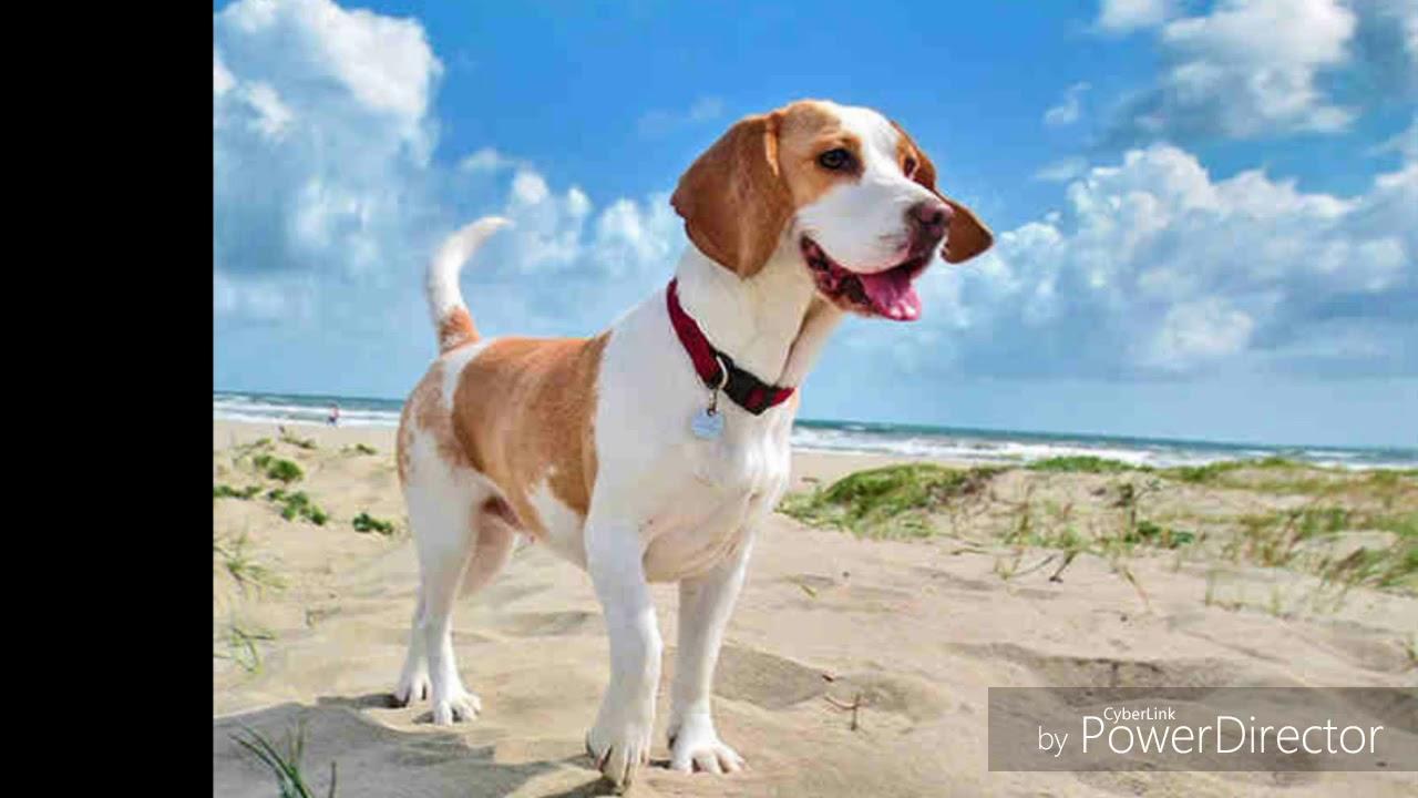 scădere în greutate pentru beagles)