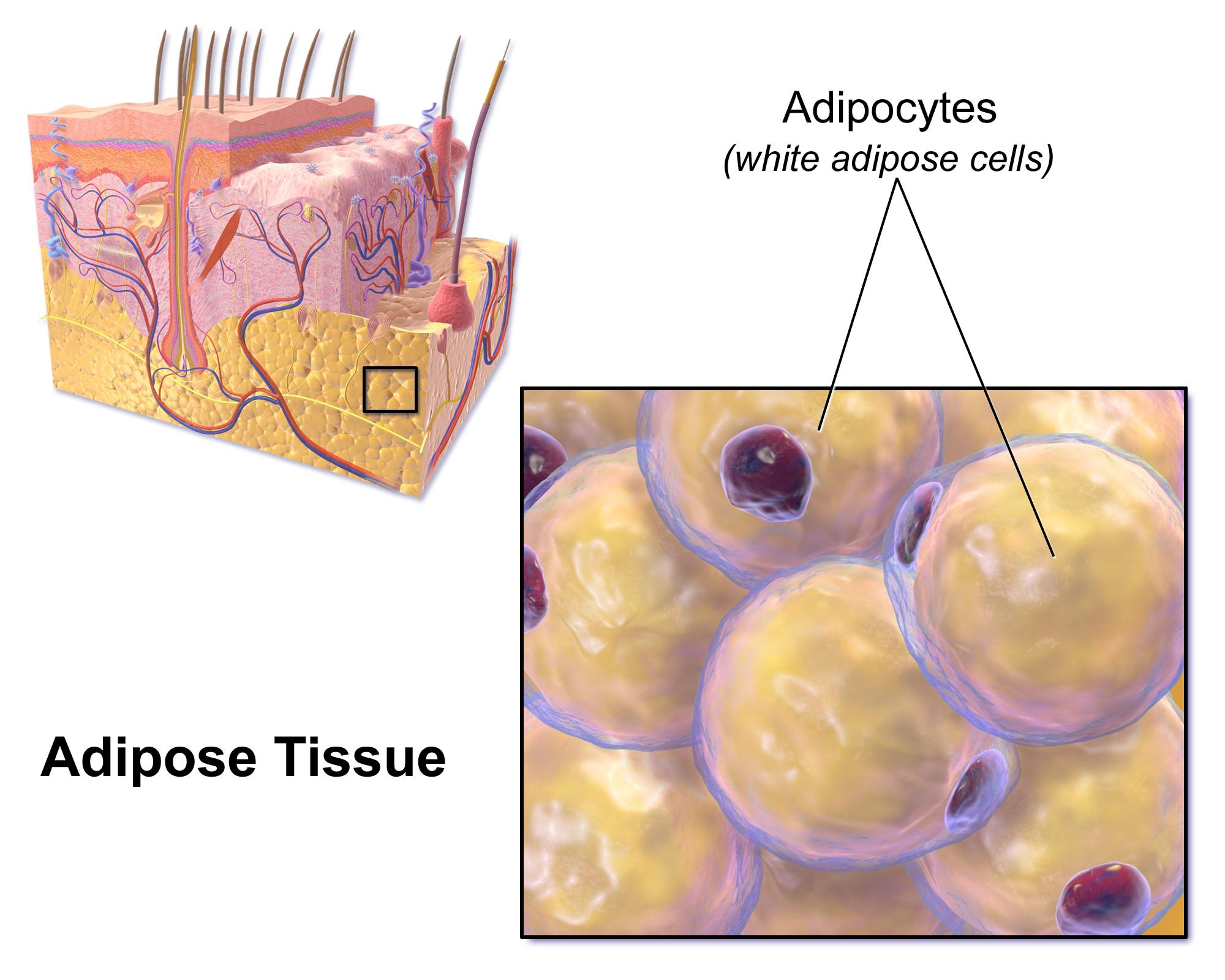 cum să pierzi țesutul adipos adipos