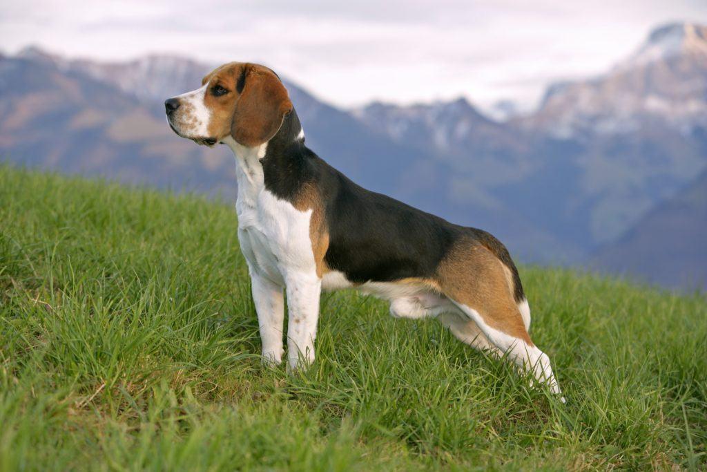 beagle pierde în greutate)