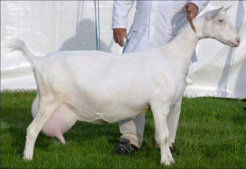 pierderea în greutate a caprelor