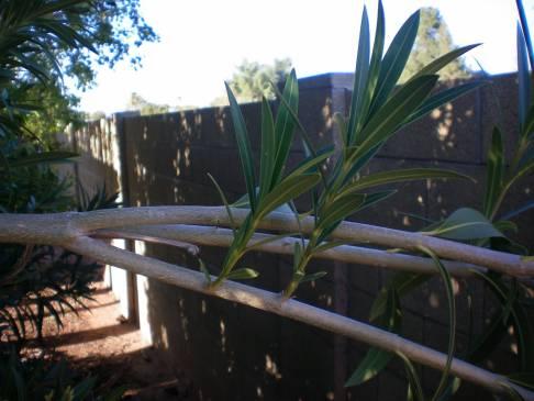 Este Yucca un aliment bun? 2020