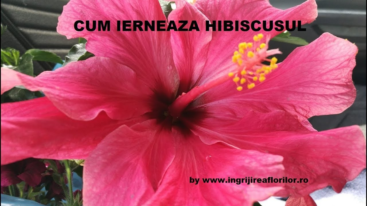 pierderea în greutate hibiscus beneficiază)