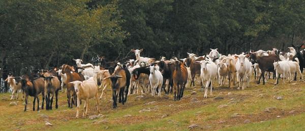 scăderea în greutate a caprelor pigme)