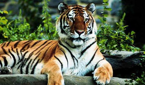 scăderea în greutate a tigrului)